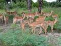 14  Zambie NP Luagwa