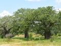 11 Tanzánie baobaby