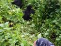 11 Rwanda Gorilla Trek