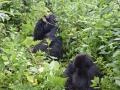 12 Rwanda Gorilla Trek