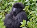 13 Rwanda Gorilla Trek