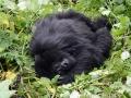 14 Rwanda Gorilla Trek