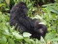 15 Rwanda Gorilla Trek