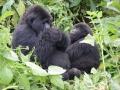 16 Rwanda Gorilla Trek
