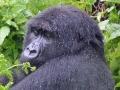 17 Rwanda Gorilla Trek