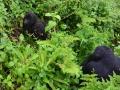 18 Rwanda Gorilla Trek