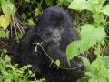 19 Rwanda Gorilla Trek