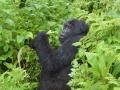 20 Rwanda Gorilla Trek