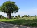 8 baobab