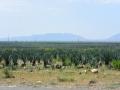 2 plantáže Aloe