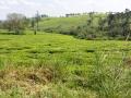 2 čajové plantáže