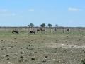 24 Namibie Etosha
